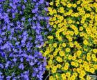 Niebieskie i żółte kwiaty