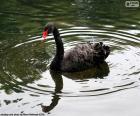Łabędź czarny