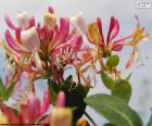 Kapryfolium kwiat