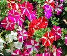 Układanka Petunia kwiaty
