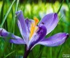 Szafran kwiat