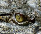 Krokodyl oczu