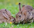 Dwa króliki, jedzenie