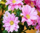Różowy stokrotki