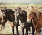 Trzy konie islandzkie