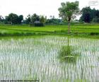 Pola ryżowe, Indonezja