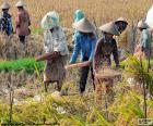 Zbiory ryżu, Indonezja
