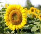Kwiat słonecznika szuka zawsze słońce