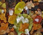 Liści i lodu