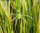 Ryś zielony pająk