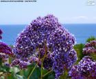 Kwiaty z Limonium perezii