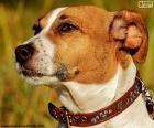 Głowa Jack Russell Terrier rasy psów, pochodzących z Wielkiej Brytanii