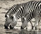 Trzy zebry picia