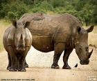 Dwa nosorożce