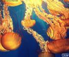 Układanka Chrysaora fuscescens