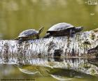Żółw malowany