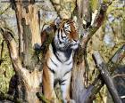 Tygrys, kontrolowanie jego terytorium