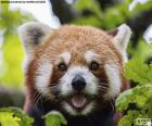 Czerwona Pandka ruda
