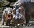 Wielki hipopotam obok ich hodowli