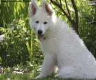 Biały szwajcarski owczarek pies szczeniak