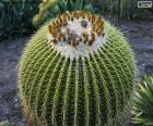 Okrągły kaktus