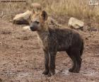 Hiena szczeniaka