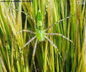 Układanka Ryś zielony pająk