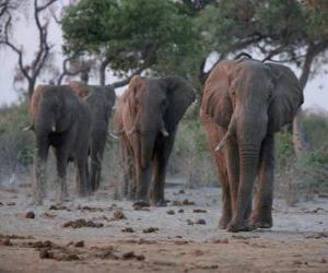 Układanka Słonie afrykańskie
