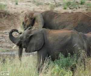 Układanka Słonie jedzenie zioła