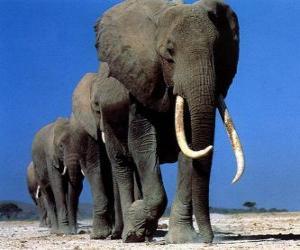 Układanka Słonie spaceru