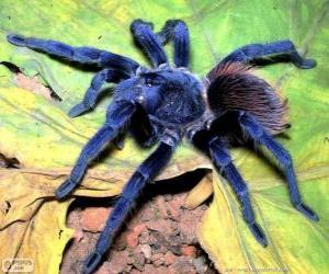 Układanka Sazima na tarantule