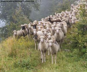 Układanka Stado owiec