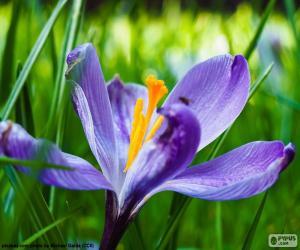 Układanka Szafran kwiat