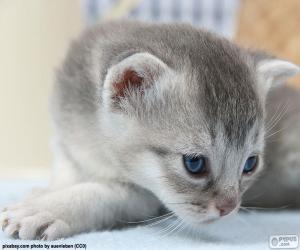 Układanka Szary i niebieskie oczy kota