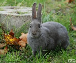 Układanka Szary królik