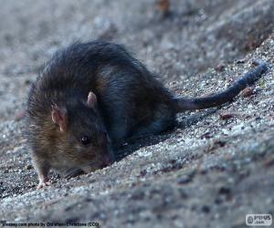 Układanka Szczur