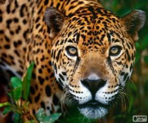 Układanka Szef Jaguar