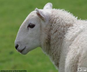 Układanka Szef owiec