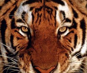 Układanka Szef Tygrys
