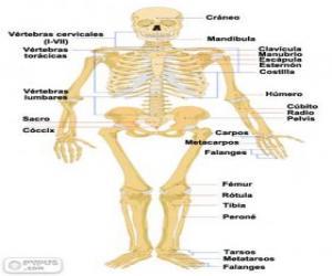 Układanka Szkielet człowieka. Kości ludzkiego ciała (hiszpański)