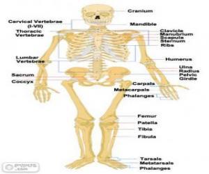 Układanka Szkielet człowieka. Kości ludzkiego ciała (angielski)