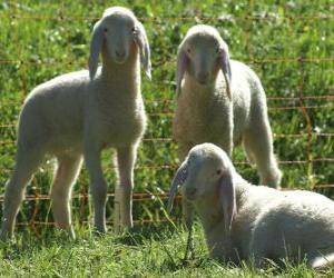 Układanka Trzech owiec