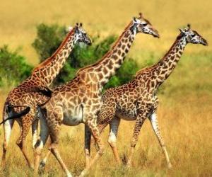 Układanka Trzy Żyrafy