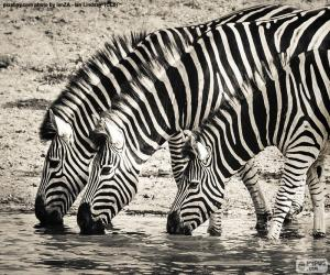Układanka Trzy zebry picia