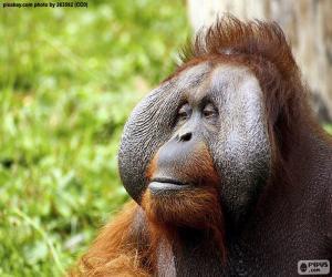 Układanka Twarz męskiej Orangutan