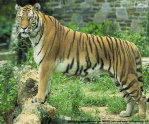 Układanka Tygrys dorosłych