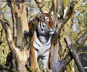 Układanka Tygrys, kontrolowanie jego terytorium