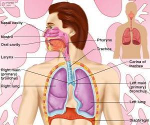 Układanka Układ oddechowy (angielski)