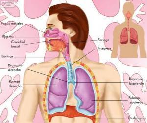 Układanka Układ oddechowy (hiszpański)
