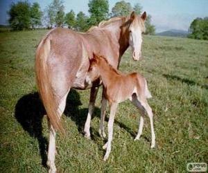 Układanka Virginia Highlander konia w Stany Zjednoczone Ameryki
